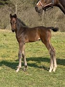 Horse for sale - HMK CARELESS