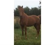 Horse for sale - SØNDERÅENS OKAIDO
