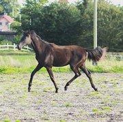Hest til salg - DO-HO QUATERDOLL