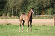 Horse for sale - ROCKET BROTHER
