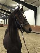 Horse for sale - Vinstruplunds Qutie Pie