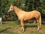 Horse for sale - MR.NIBBLES