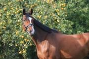 Horse for sale - KASTKÆRS CALLAS