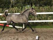 Horse for sale - HAAHR'S JAZZ