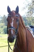 Horse for sale - MØLLEGÅRDENS ZAFF