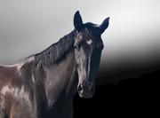 Horse for sale - TENODA
