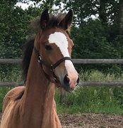 Horse for sale - A.N. CARLTON