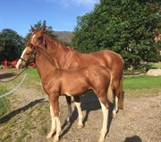 Horse for sale - MR. RED BUTTONS