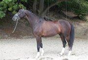 Horse for sale - Let's Dance Mr. Beethoven
