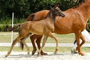 Horse for sale - ELVERHØJS FRANKIE BOY