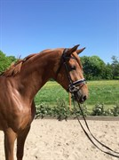 Hest til salg - KORSLUNDS CHAPERON ROUGE