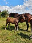 Horse for sale - Viktor