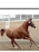 Horse for sale - KIKI-LAU