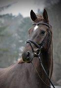 Horse for sale - L'ESPARDON AF KÆRET