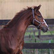 Horse for sale - LEISMANNS ISAAC