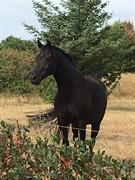 Horse for sale - LØGTHOLT'S FREUD