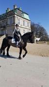 Hest til salg - Charmør