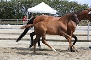 Horse for sale - Bøggilds Filadelfia