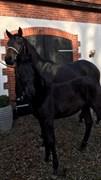 Hest til salg - ANEKDOTE FIRFOD