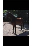 Horse for sale - CAISER D.D.