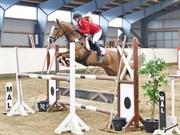 Hest til salg - RED SHARINJA-LI OX