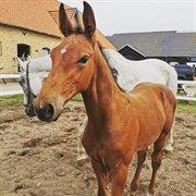 Horse for sale - PAPA'S LE PETIT PRINCE