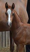 Horse for sale - Oakley KK's