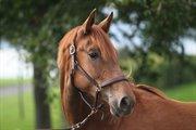 Horse for sale - FATINELLI PILEKÆR