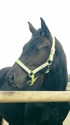 Hest til salg - SKOUENBYGAARDS DODGE VIPER