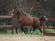 Horse for sale - FOXY BROWN G