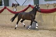 Hest til salg - BAUNEHØJENS EL PASO
