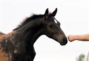 Horse for sale - GØRKLINTGÅRDS SAILOR