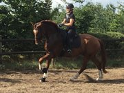Horse for sale - FREDDY PAX