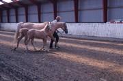Horse for sale - Moelleaaens Golden Angelo