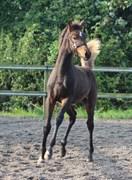 Horse for sale - ROSAY'S FRANSISCO