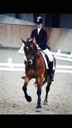 Hest til salg - FRONERTHIG REVOLVER