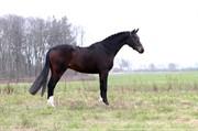 Horse for sale - GØRKLINTGÅRDS QUIERO