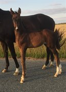 Horse for sale - JAZZ