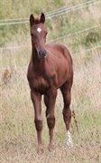 Horse for sale - ØSTERHEGNET´S ZHANTAY