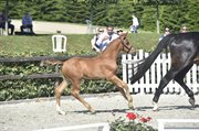 Horse for sale - FREDENSDALS FURY