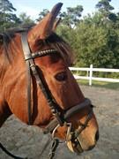 Hest til salg - Mr. Chapmann