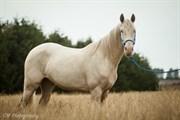 Hest til salg - ELWOOD BLUES