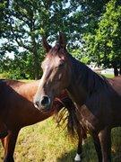Horse for sale - TRELDEGÅRDS SIA