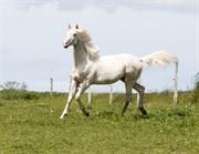 Horse for sale - Kjaergaards Optimus Prime