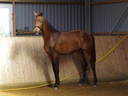 Horse for sale - SKOVENS EMILIANO