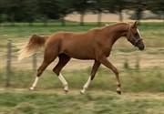 Horse for sale - LEVITA'S MAGIC MOMENT