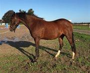 Horse for sale - LUNA STENGAARD