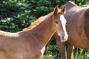 Horse for sale - Del Noel