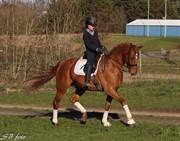 Hest til salg - DANHEAT'S TJARKIE