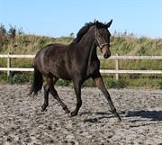 Horse for sale - MATA HARI G